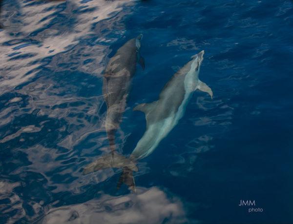 Les dauphins en Martinique