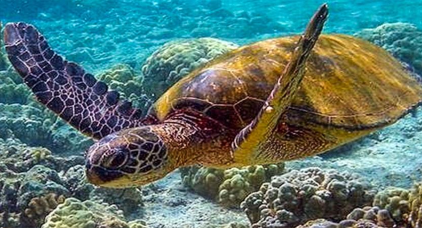 Nager avec les tortues en Martinique !