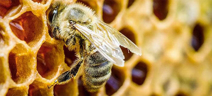 les abeilles de Martinique
