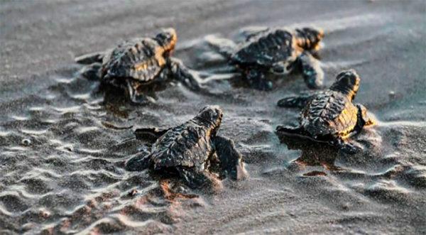 Naissance des bébés tortues luth en Martinique