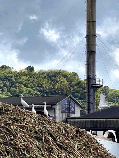 La canne à sucre approuvée pour le Rhum Depaz