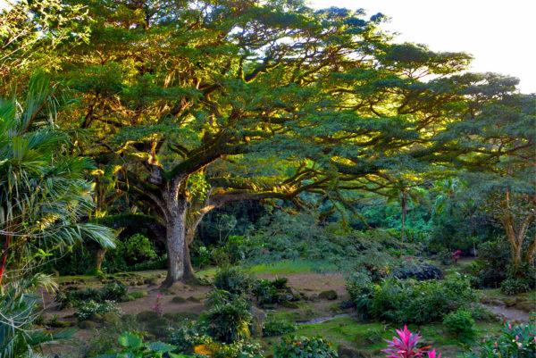 arbre Zamana céron
